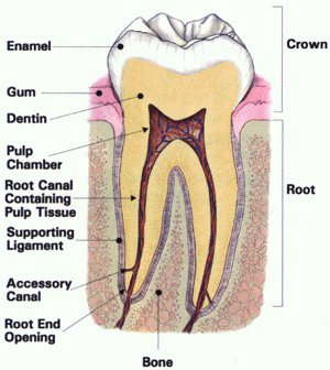 Root Canals (Endodontics) - IMPLANT COSMETIC DENTAL CENTER